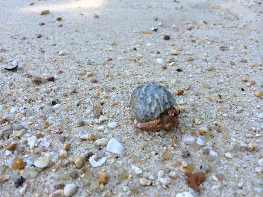 My favourite hermit crab on the beach.